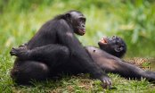 Les chimpanzés plus agressifs que les bonobos?